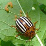Вред колорадского жука и его личинок, как от них избавиться