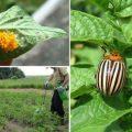 Борьба с колорадским жуком химическими средствами