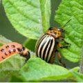 Средства без химии против колорадского жука