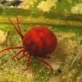 Опасны ли для людей водяные клещи