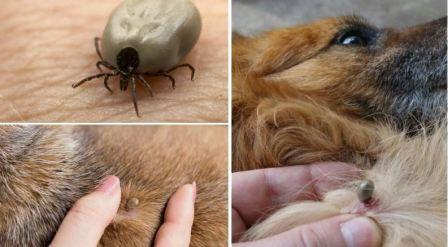 Собачьи клещи, виды и защита от них