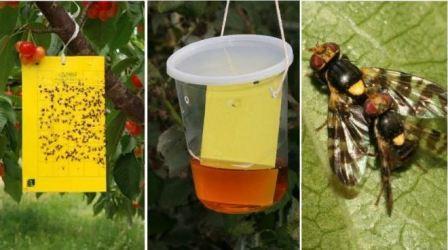 Дынная и вишнёвая мухи – сладкоежки, уничтожающие урожаи
