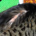 Симптомы кошачьей аллергии на блох, методы лечения